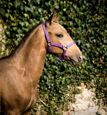 Post Poulinage - Manipulation : Licol Foal
