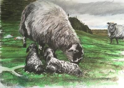 Mel's New Born Lambs - A4 Pastel Sketch