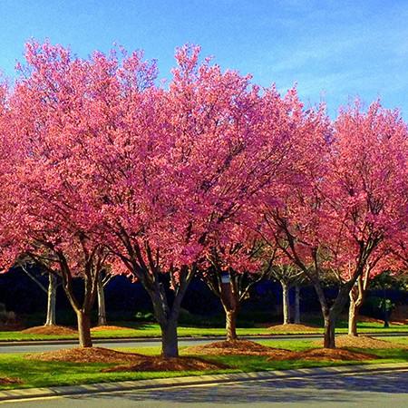 Live Japanese Okame Cherry Blossom Tree