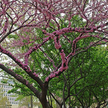 Murasaki Amerikahanazuou Sakura Blossom Tree
