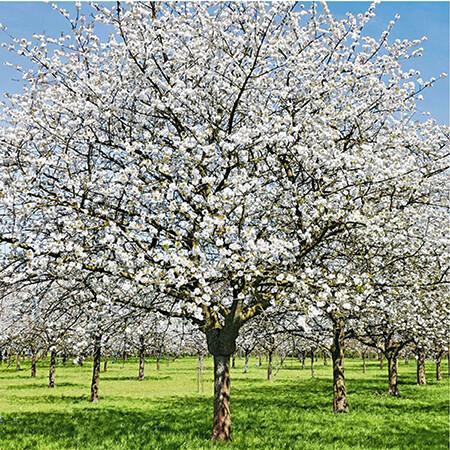 Snow Goose Flowering Cherry tree