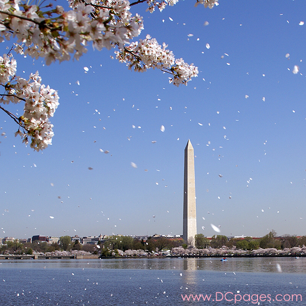 Gifts - Print - Washington Monument Cherry Blossoms