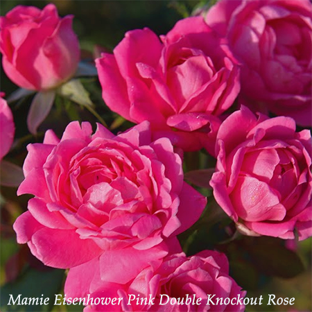 Mamie Eisenhower Pink Double Knockout Rose