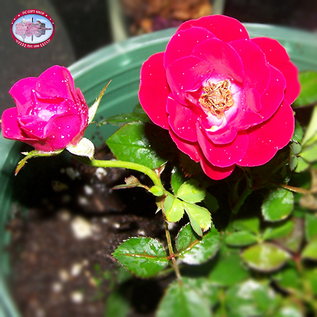 Red Double Knockout Rose Plant