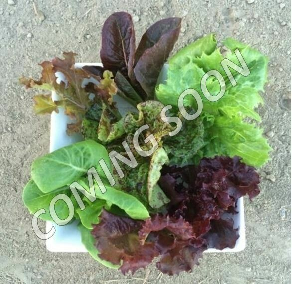 Baby Mixed Lettuce