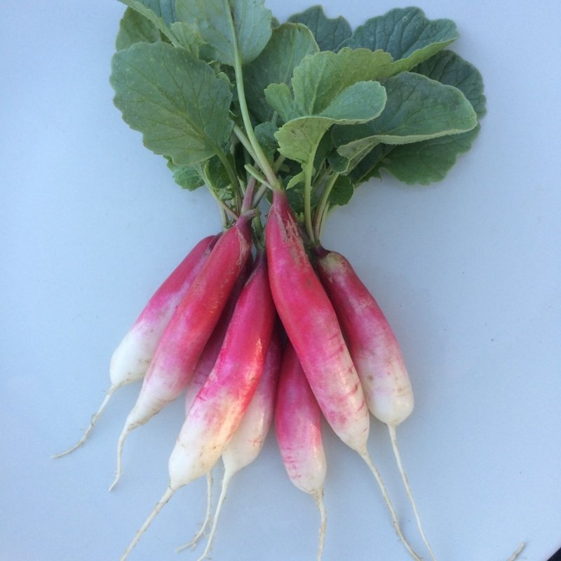 French Breakfast Radish - 24ct