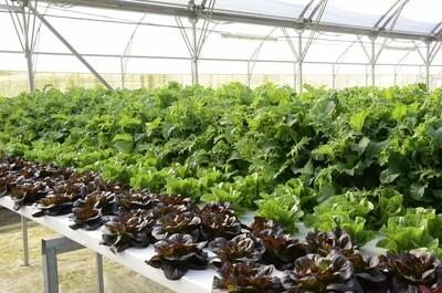 The lettuce man family crate (te tangata rētihi whanau pouaka)