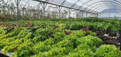 The lettuce man couples crate (te tangata rētihi tokorua pouaka)