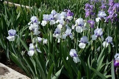 Violet Icing