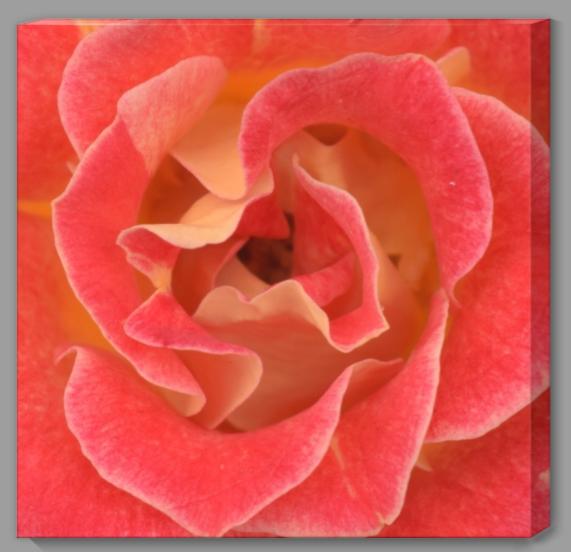 Cherry Brandy Rose I