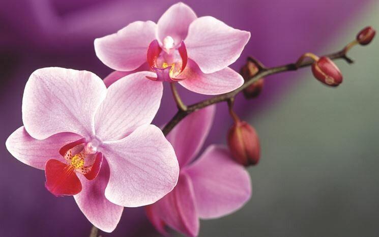 Orchidea Phalaenopsis 2 Steli con Vaso Tondo in Ceramica