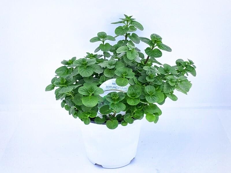 Menta Rotundifolia Vaso 14