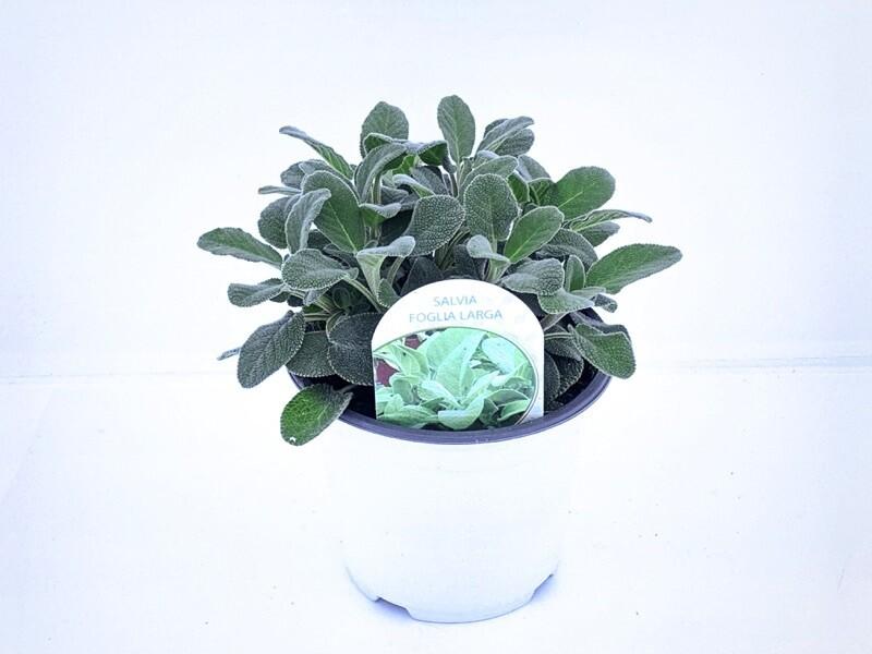 Salvia Foglia Larga Vaso 14