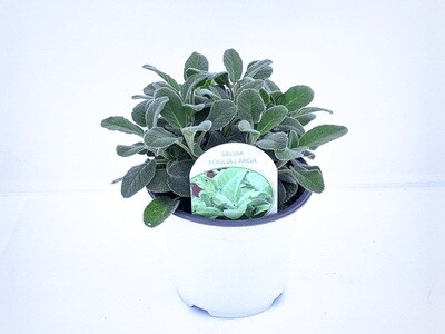 Salvia Vaso 14