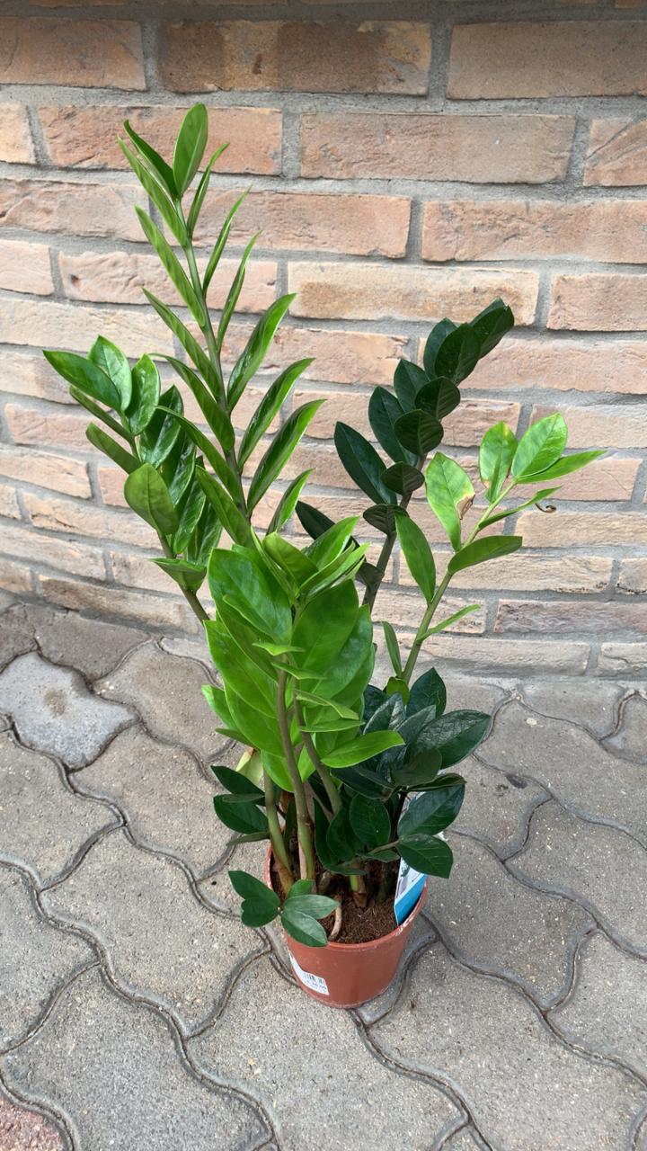 Zamioculcas (Zamia)