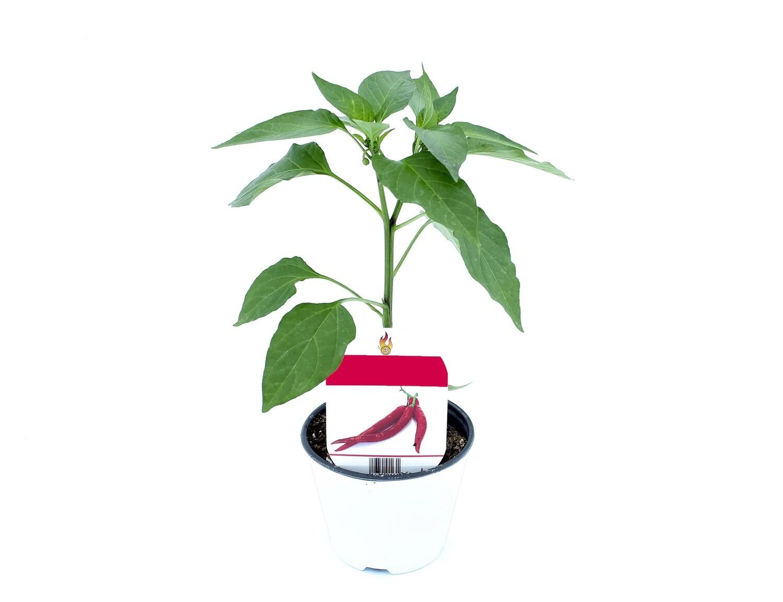 Peperoncino Coccinella Vaso 10