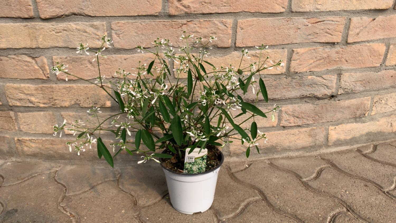 Euphorbia Vaso 12