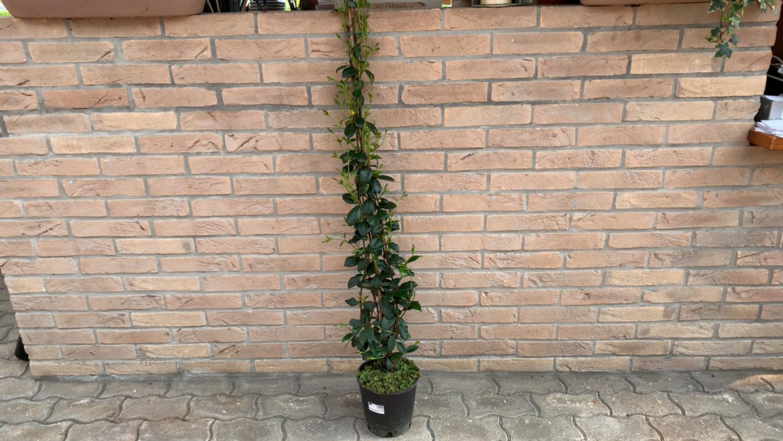 Rincospermum ( Gelsomino Selvatico ) H 1,5m  ( Pianta Rampicante )