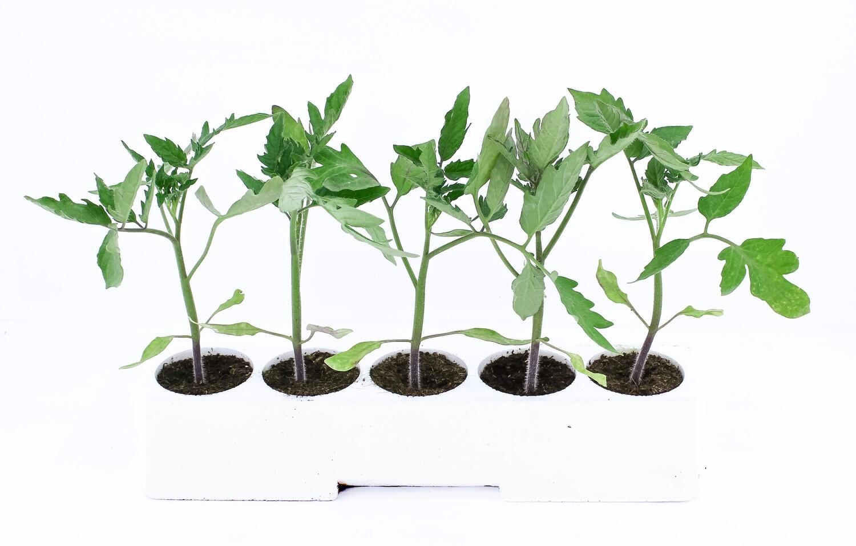 5 Piantine di Pomodoro Tondo In Contenitore