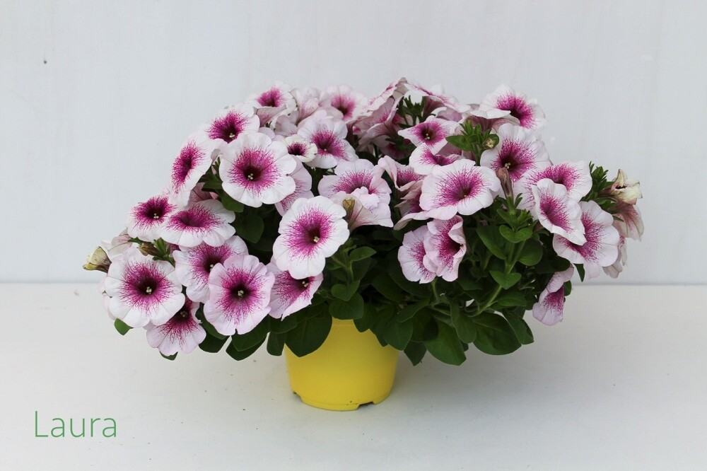 Potunia Vaso 14 (Petunia Hybrida)