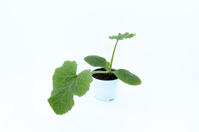 Piantina di Zucchino Chiaro Romano In Vaso 8