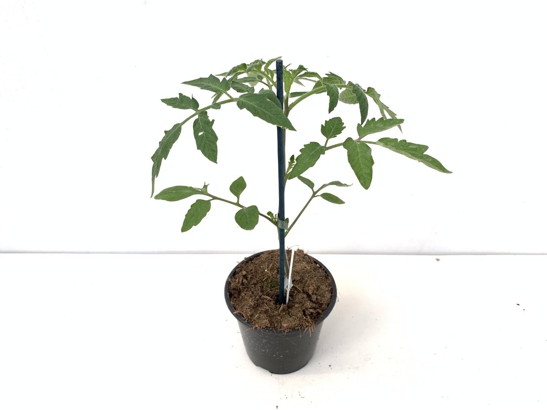 Pomodoro Innestato Cuor di Bue Vaso 14