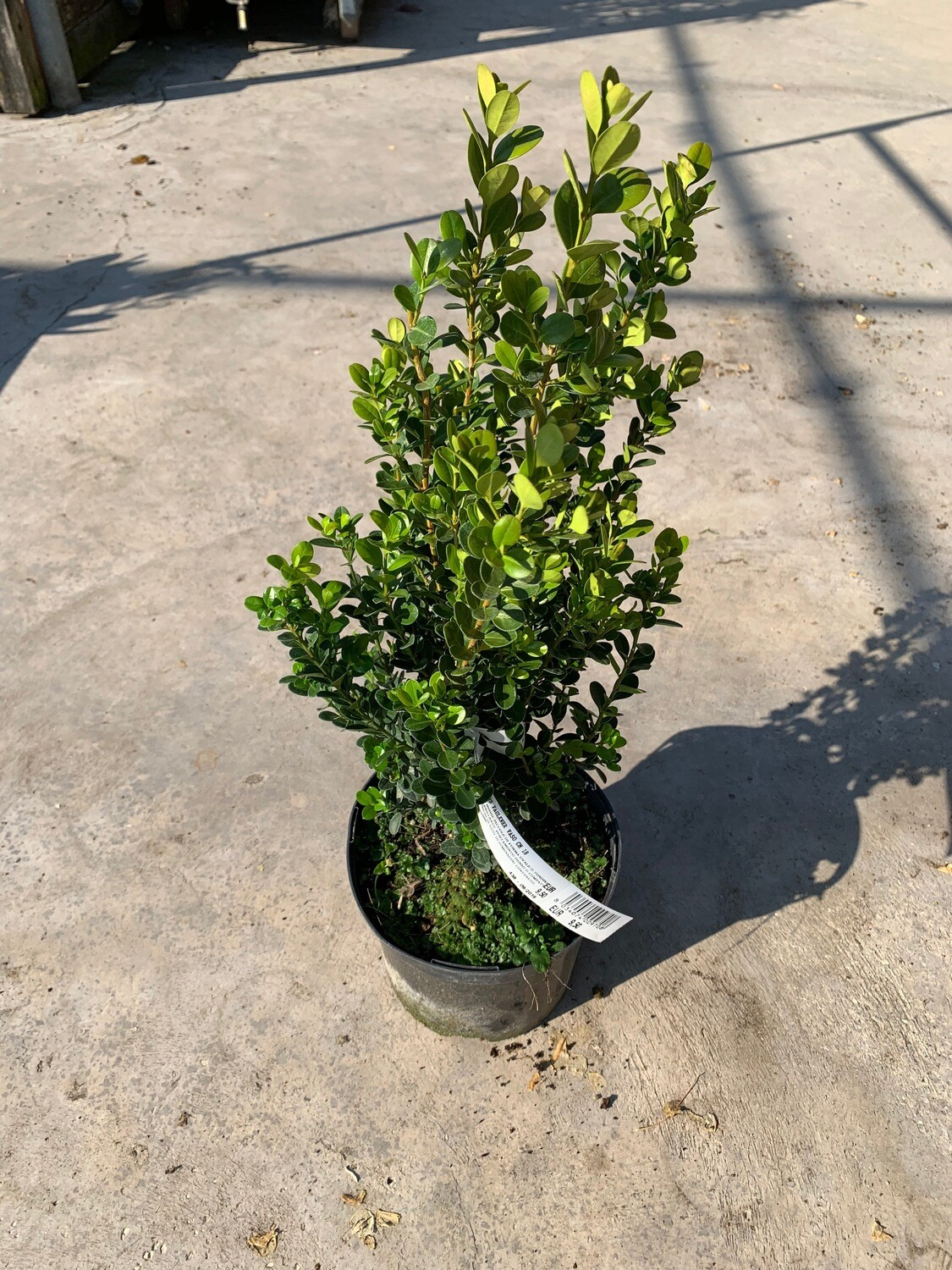 Bosso (Buxus)