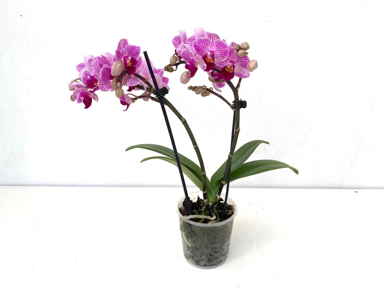 Orchidea Phalaenopsis Mini Vaso 9