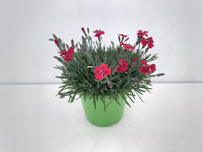 Garofanino Vaso 14