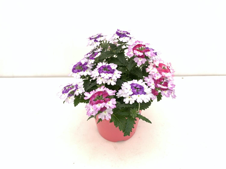 Tris di Verbena Vaso 14