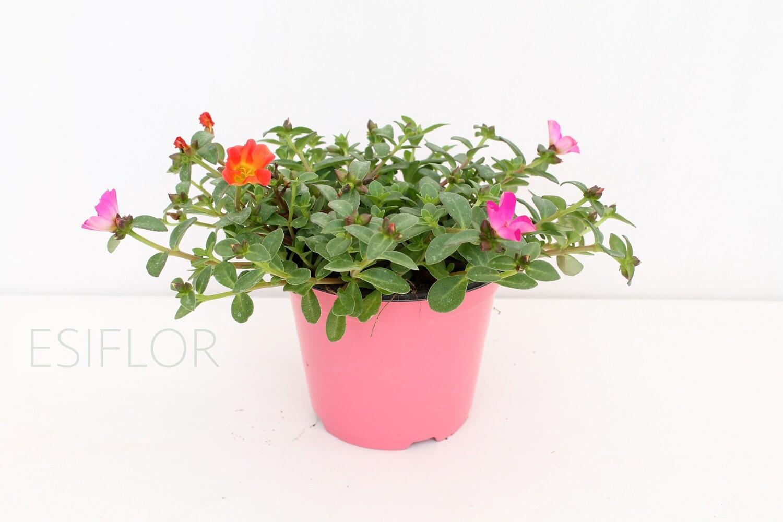 Portulaca tris di colori Vaso 14