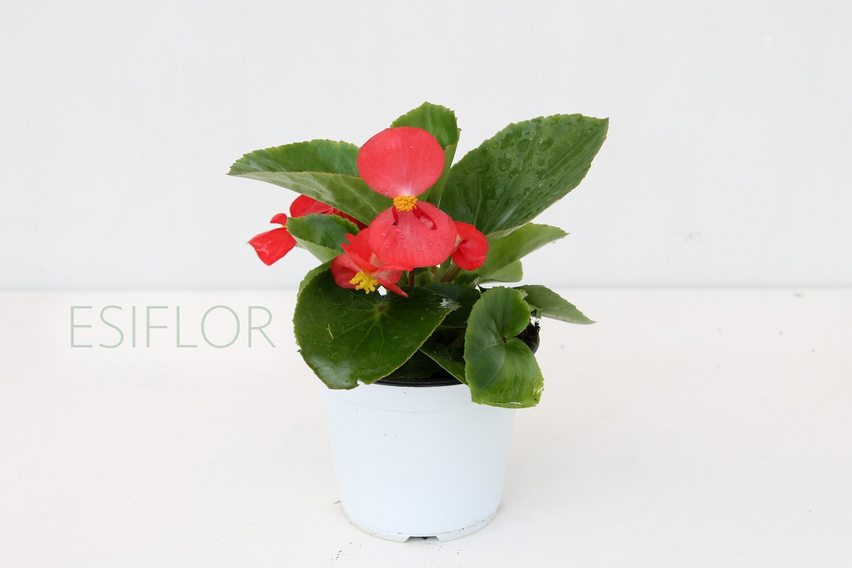 Begonia V.10