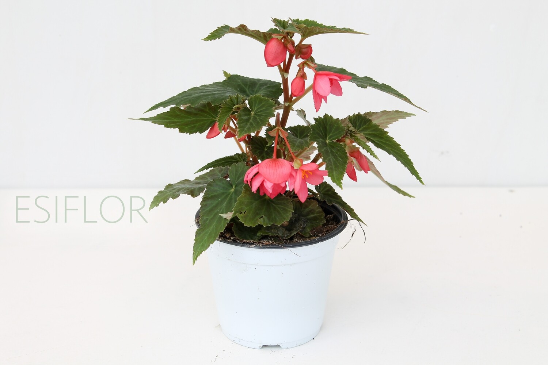 Begonia Tenella V.12