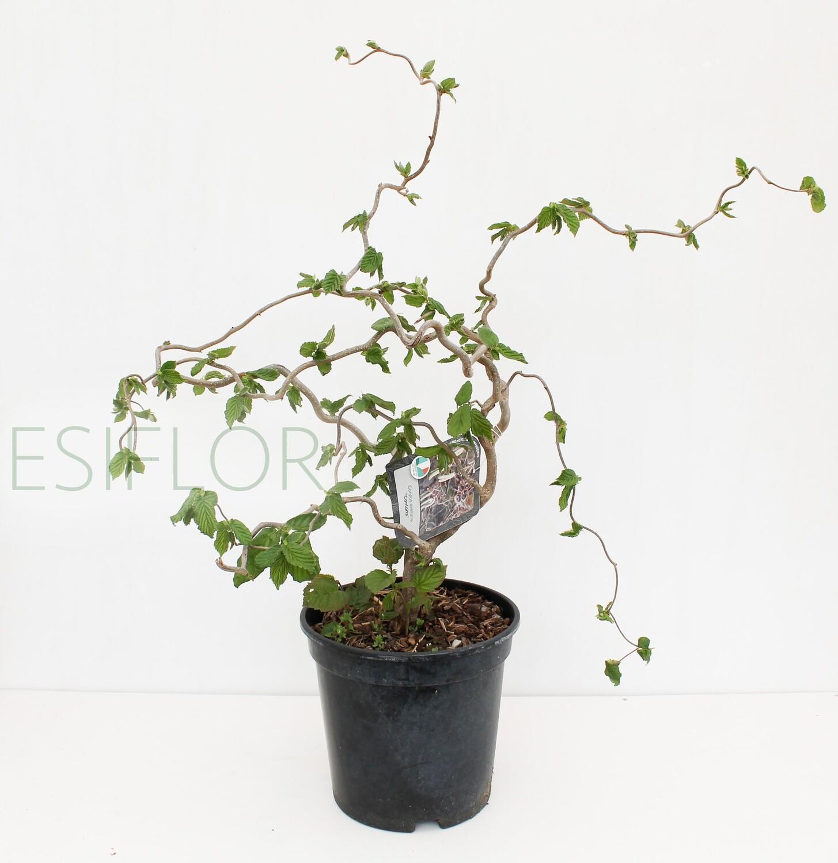 Corylus Avellana Contorta ( Nocciolo Contorto )