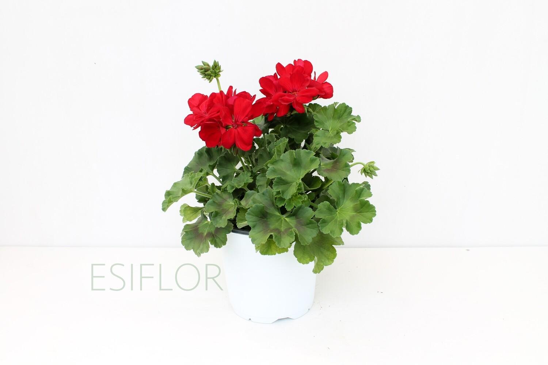Geranio Pelargonium Champion Vaso 17