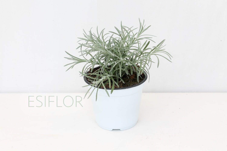 Elicrysum Italicum Vaso 12