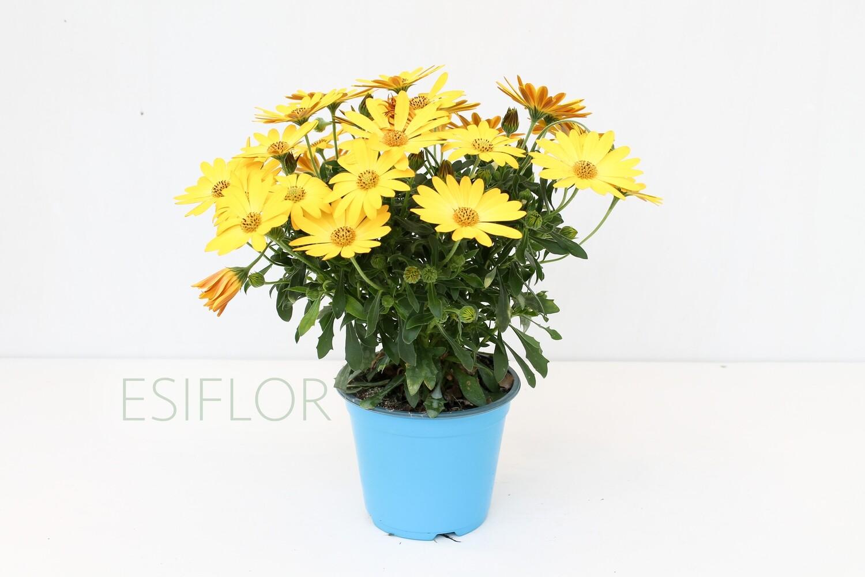 Dimorfoteca Vaso 14