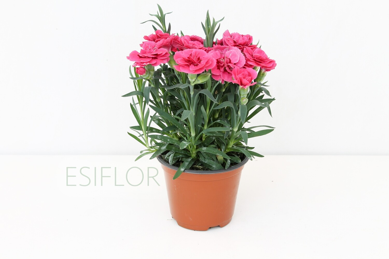 Garofanino ( Dianthus ) Vaso 12
