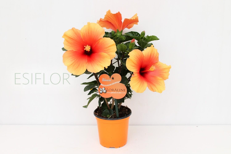 Ibisco ( Hibiscus )