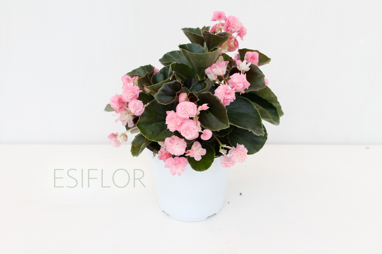 Begonia Gigante Fiore Doppio V.12