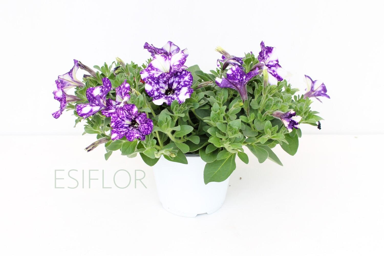 Potunia Costellation Vaso 14