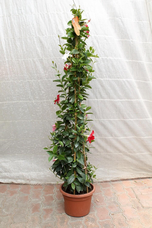 Dipladenia H150 ( Pianta Rampicante )