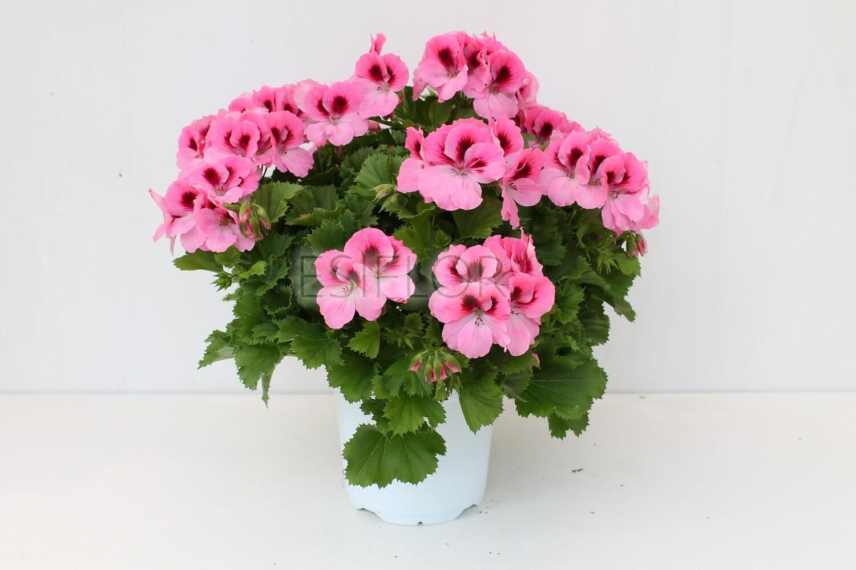 Pelargonium Vaso 17