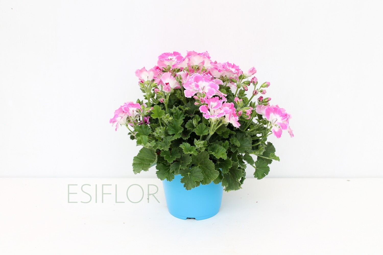 Pelargonium Fiore Medio Vaso 14
