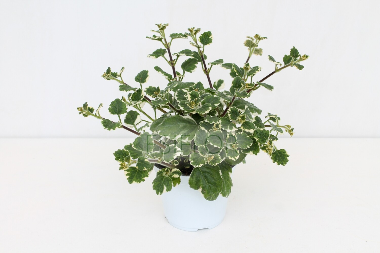 Plectranthus Vaso 12 ( Incenso )