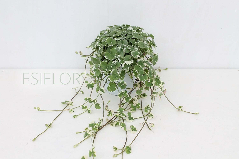 Glechoma hederacea Vaso 12