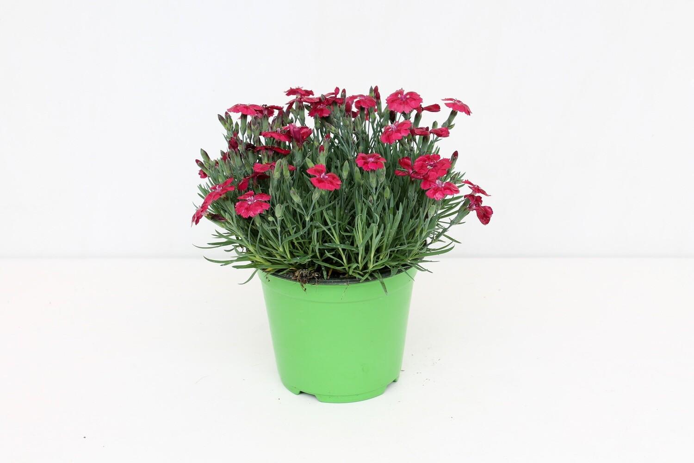 Garofanino ( Dianthus ) Vaso 14