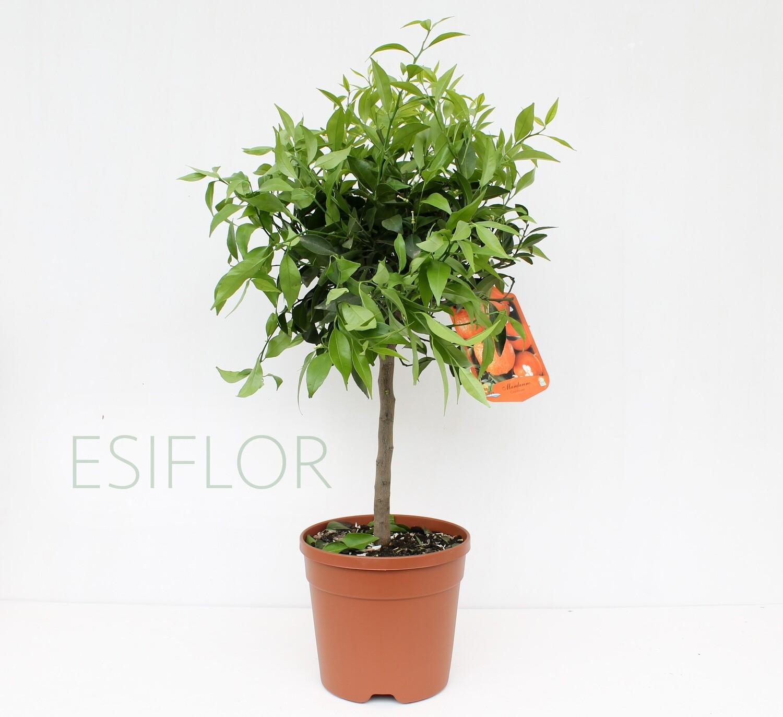 Mandarino ( Agrumi )