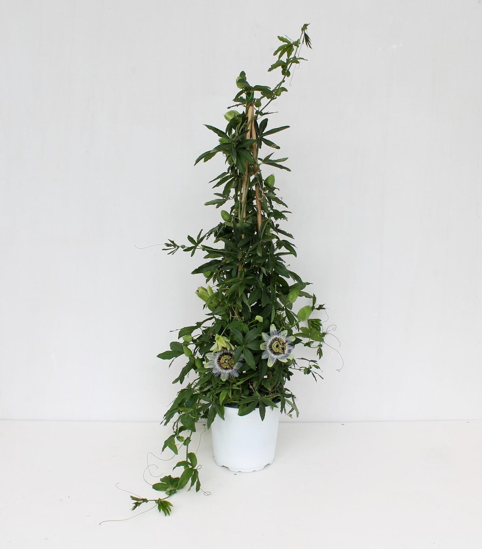 Passiflora ( Pianta Rampicante )