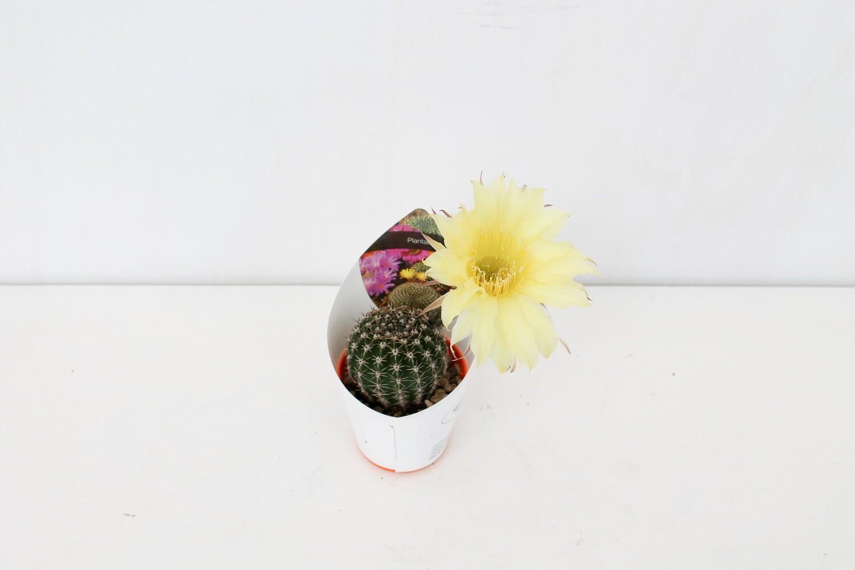 Pianta Grassa con Fiore
